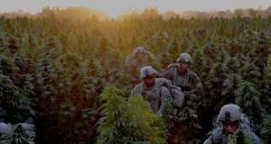 marijuana-field-canadianarmy
