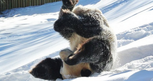 panda-plays-in-snow