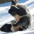 panda-plays-in-snow