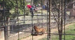 toronto-zoo-tiger-hat