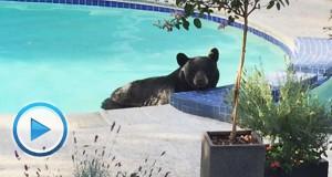 vancouver-bear-pool